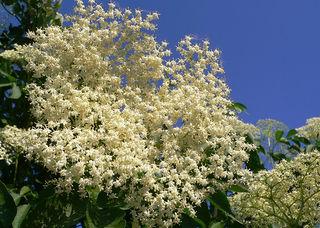 S nigra flowers